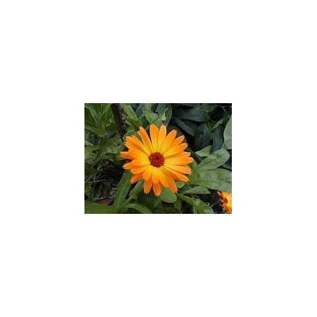 Marigold (Calendula officinalis) 30g