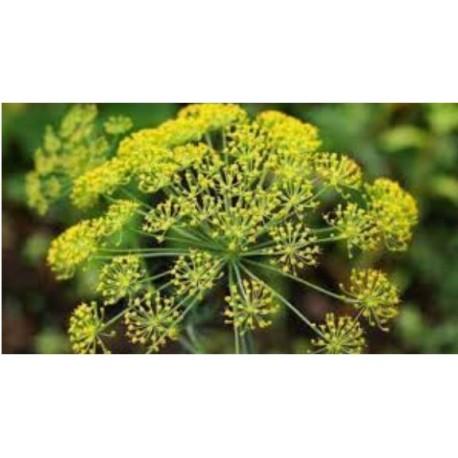 Anise  - Erva doce - (Pimpinella anisum)  30g