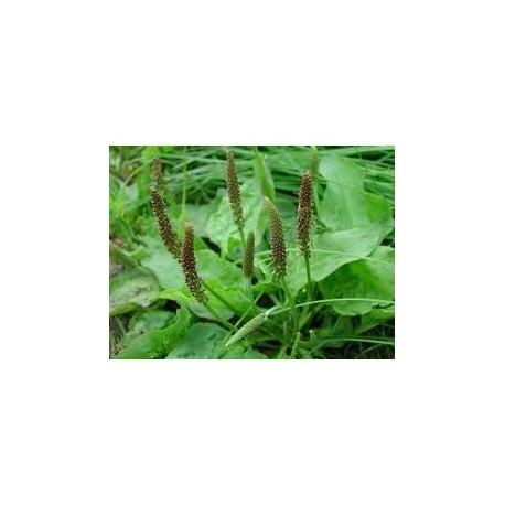 Alpine plantain - Tansagem - (Plantago alpina) 30g