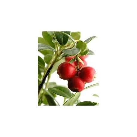 Wheatgermoil (Triticum vulgare) 90 Pills