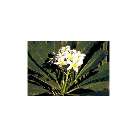 Agoniada (Plumeria lancifolia)  100 Pills