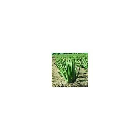 Aloe Vera - Babosa - (Aloe arborescens)  60 Pills