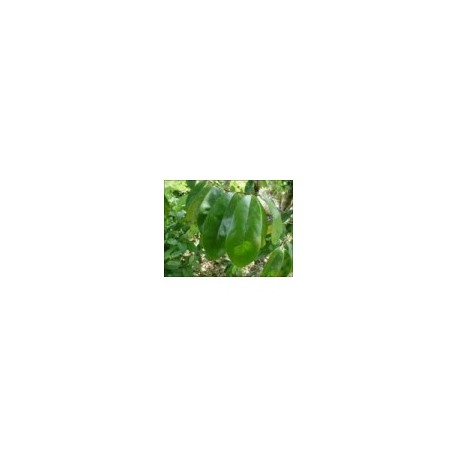Annona muricata (Graviola) Cancer therapy 100g triturated