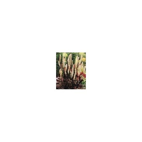 BLACK COHOSH (Cimicifuga racemosa )  30 Pills