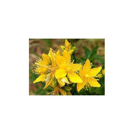 Black currant (hipericum perfuratum) HIPERICO  400mg 50 Pills