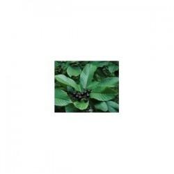 Cascara Sagrada (Rhamnus purshiana)  30g