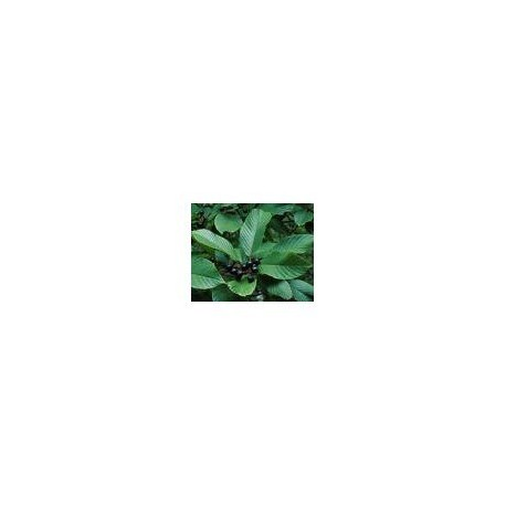 Cascara Sagrada (Rhamnus purshiana)  30g