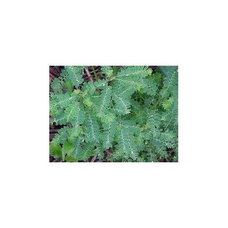 Chanca Piedra - Quebra pedra - (Phyllanthus niruri) 100 Pills