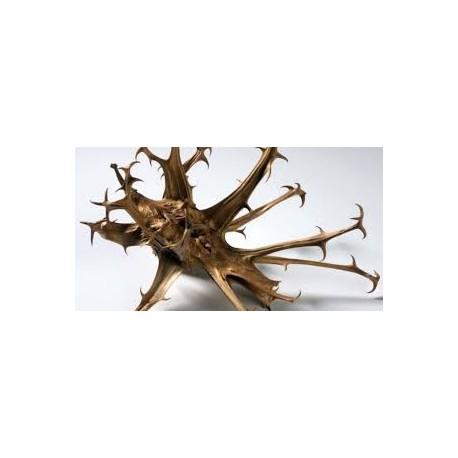 Devils claw - Garra do Diabo - (Harpagophytum procumbens) 100 Pills