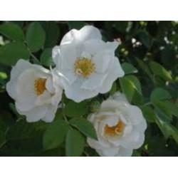 White rose - Rosa branca - (Rosa alba)  30g