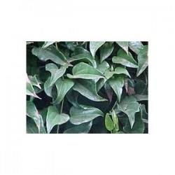 Sommer-Efeu - Guaco- (Mikania cordifolia) 30g