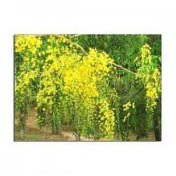 Sene - Sennes - (Cassia angustifolia) 100 Kapseln