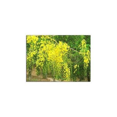 Sene (Cassia angustifolia) 30g