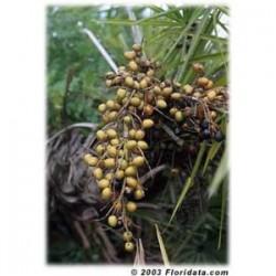 Saw Palmetto  - Sabal - (Serenoa reppens) 30 pills