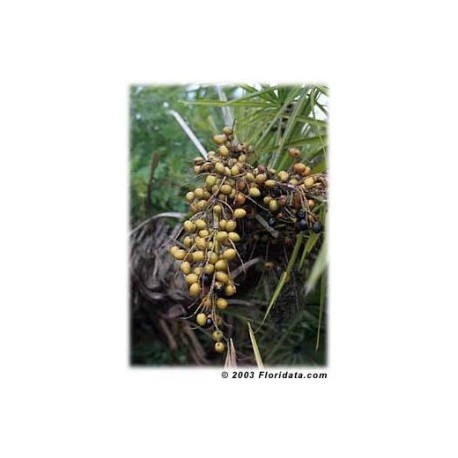 Saw Palmetto  - Sabal - (Serenoa reppens) 30 pills