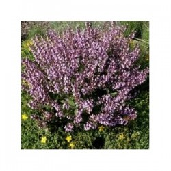 Sage - Salvia - (Salvia officinalis) 30g