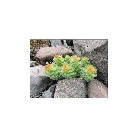 Roseroot (Rhodiola rosea) Antiaging  100 Pills