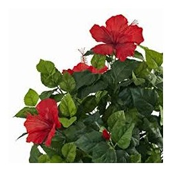 Red Sorrell - Hibiscus- (Hibiscus L)  30g