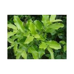 ESPINHEIRA SANTA (Maytenus ilicifolia) 500mg  50 pills