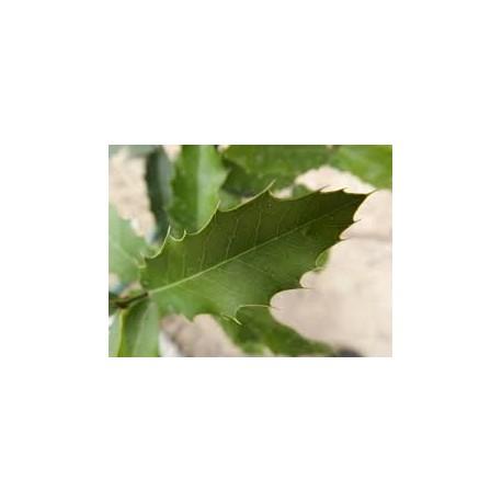 ESPINHEIRA SANTA (Maytenus ilicifolia) 500g