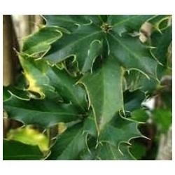 Maytenus ilicifolia (Espinheira santa) 100g