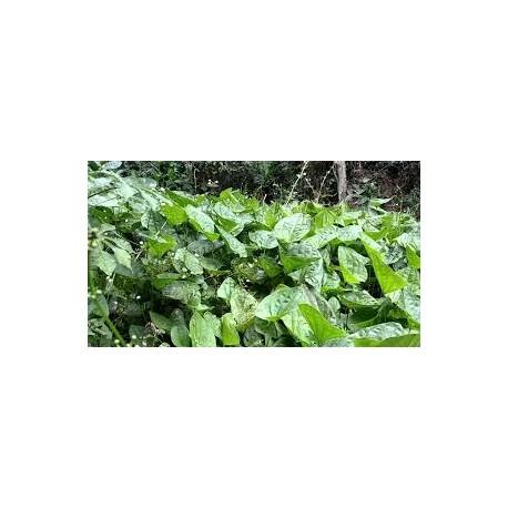 Echinodorus grandiflorus  (Chapeu de couro) 100 Pills