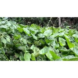 Echinodorus grandiflorus  (Chapeu de couro) 30g