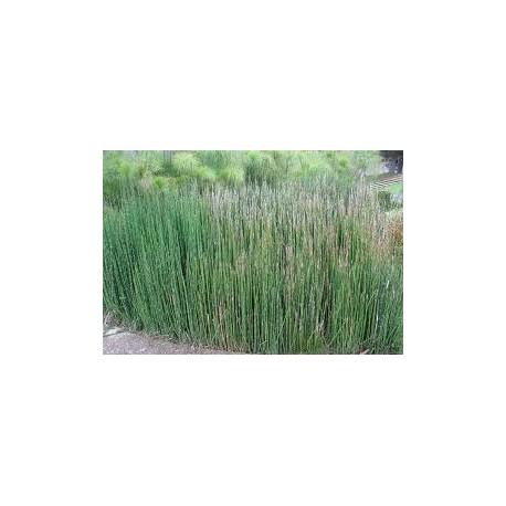 Horsetail - Cavalinha - (Equisetum arvense) 60 Pills