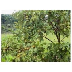 Endopleura uchi (Uxi Amarelo) 120 Pills  350mg