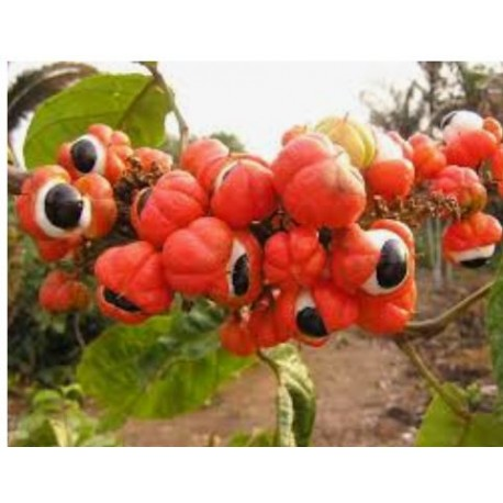 Guarana (Paullinia cupana)  500mg 100 pills