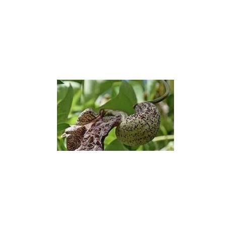 Aristolochia cymbifera (Cipo mil homens - Jarrinha) 1000g