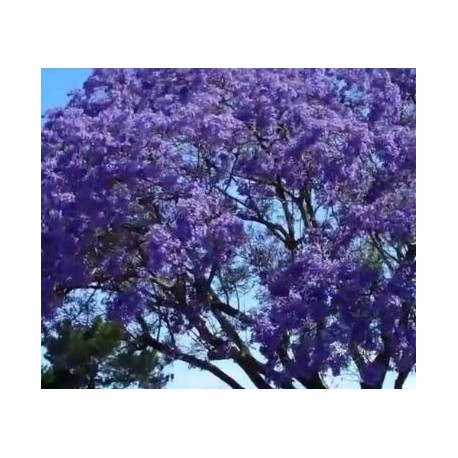 Jacaranda caroba   (Carobinha)  500g
